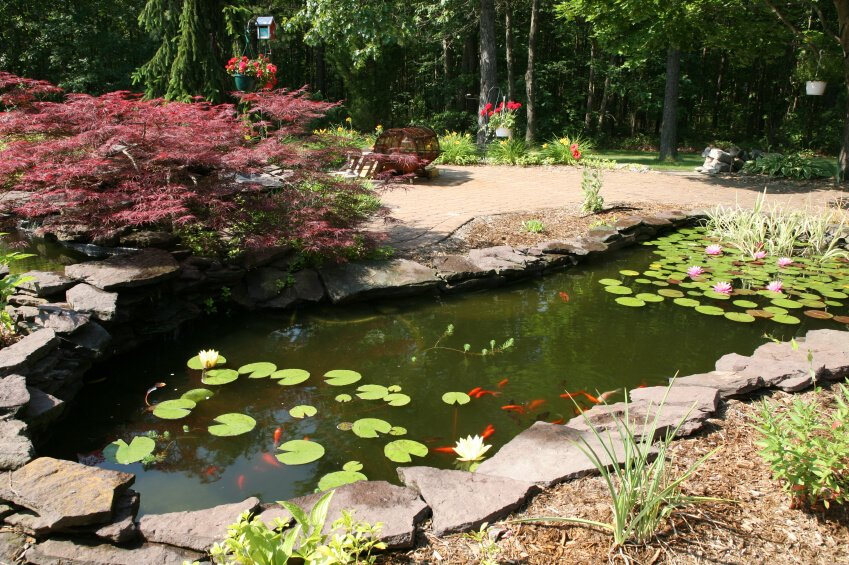 A narrow fish pond with water lilies and lots of little red ornamental fish. A purple Japanese maple hangs over the edge.