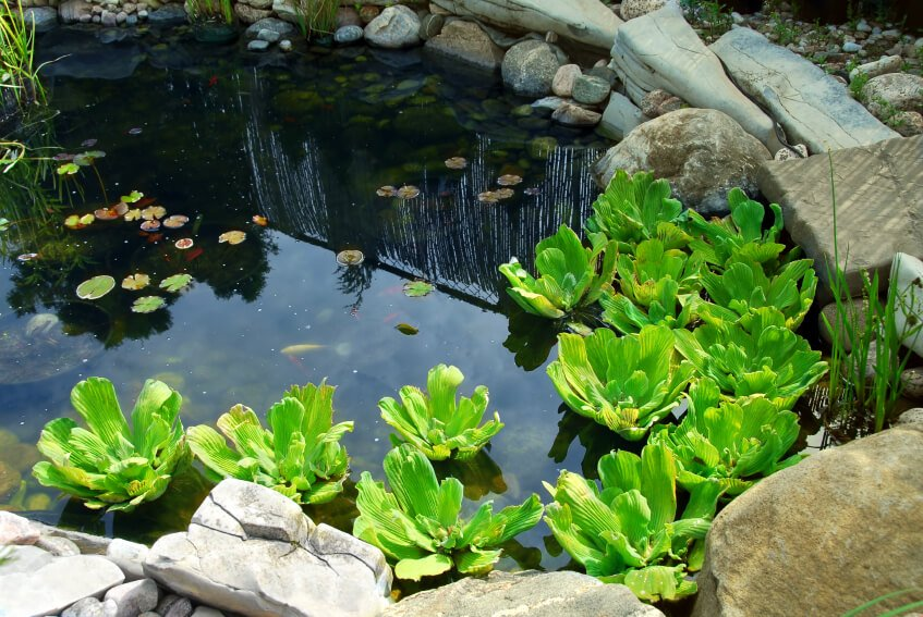 A tranquil backyard pond with a few small ornamental fish, lily pads, reeds, and water lettuce. The pond is edged by both large, square boulders and smaller, round stones.