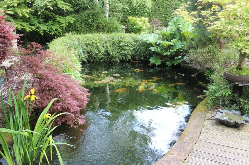 A koi pond edged by hedges and maples. This view is from a curving walkway through an expansive Japanese garden.