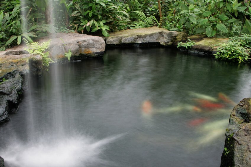 A beautiful tropical pond with a tall waterfall tumbling into the pond surrounded by moss-covered slabs of stone. Just under the surface we can see koi fish.