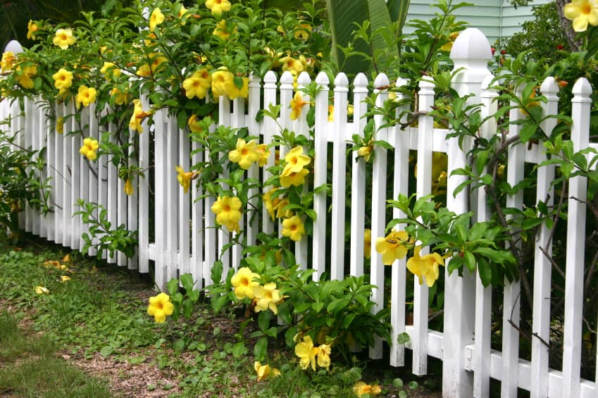 A white wooden picket fence with beautiful yellow flowers with large blooms and leafy branches pouring through and above the fence.
