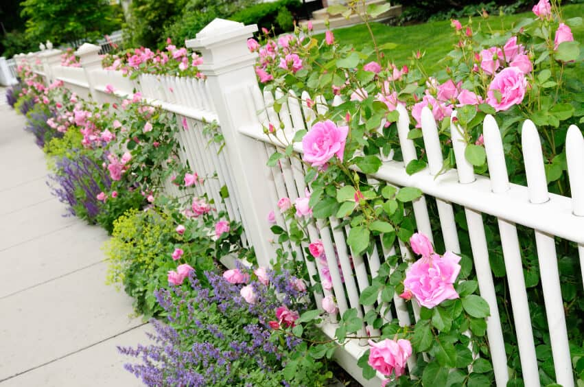 A wooden fence with beautiful pink roses and lavender.