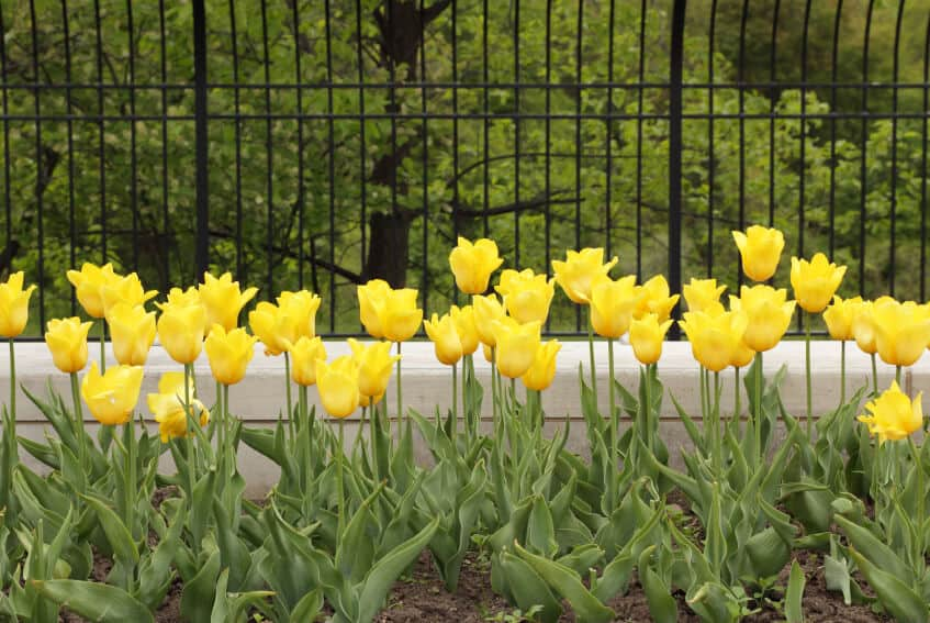 An elegant black wrought iron fence on a white concrete base with a planting bed full of blooming yellow tulips in front.
