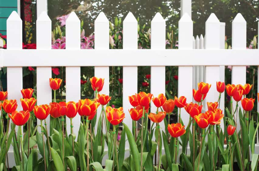 A white aluminum picket fence with yellow-tipped orange tulips in front. Behind the fence, pink lilies are visible.