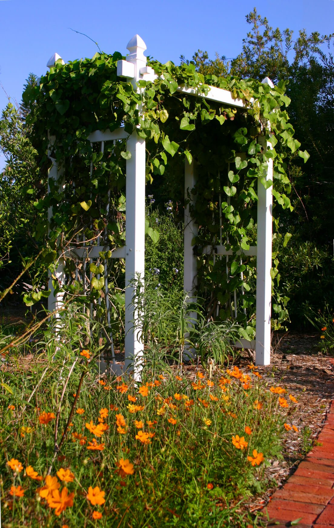 A white, wooden trellis is covered in morning glories.