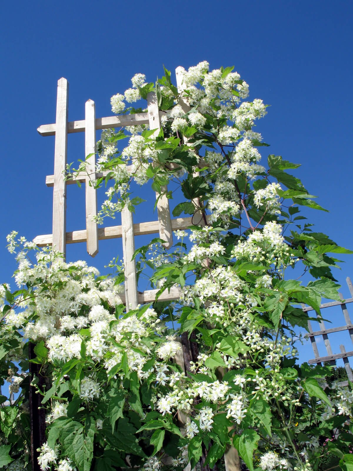 A wooden trellis supports grapevines.