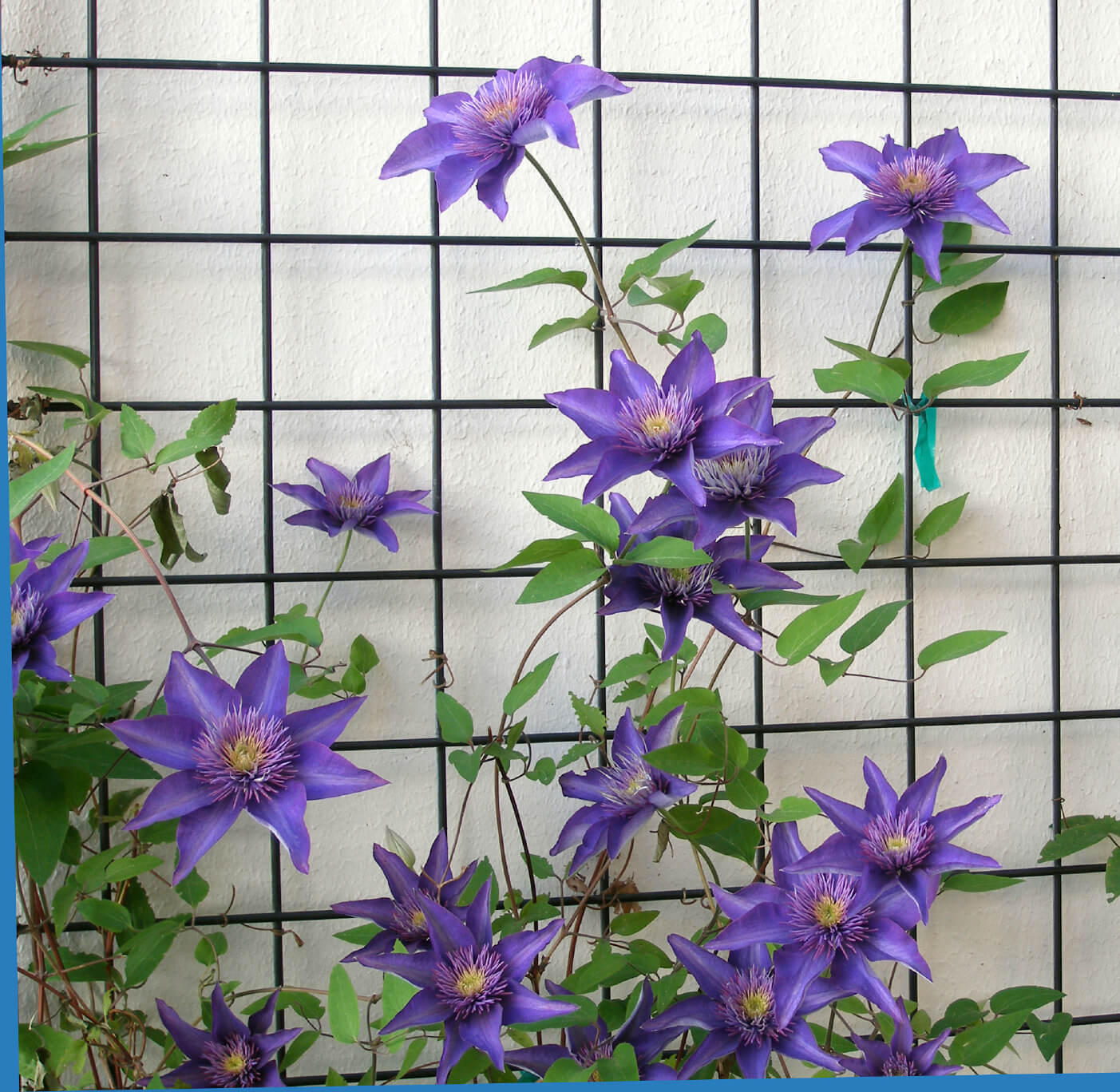 The purple blooms here are Clematis, which use this metal lattice to climb.