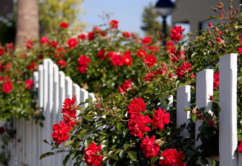 A white picket fence acts as a trellis for these red beauties.