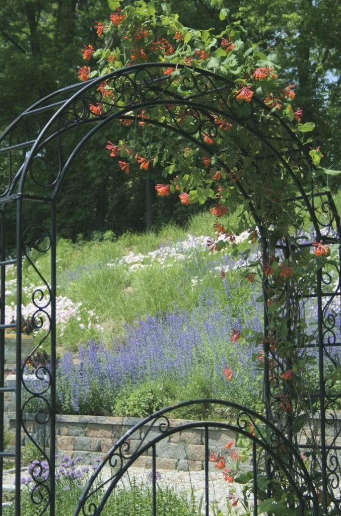 Honeysuckle vines work to become one with this stylized and arched trellis.