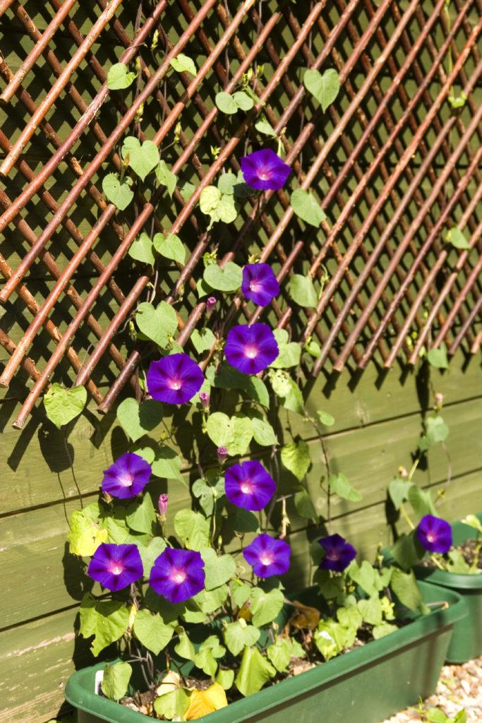 Stunning purple morning glories climb a wooden lattice.
