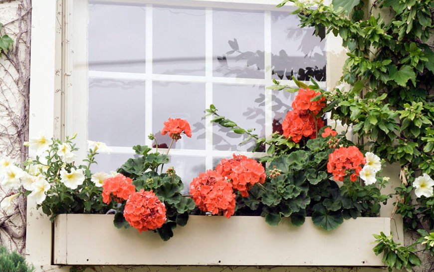 A simple, pretty wooden window box in cream with petunias and salmon geraniums.