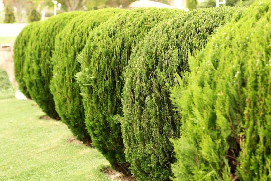 The vertical flow of the branches and leaves makes these rounded hedges appear taller and draws the eye upward instead of settling on the hedge