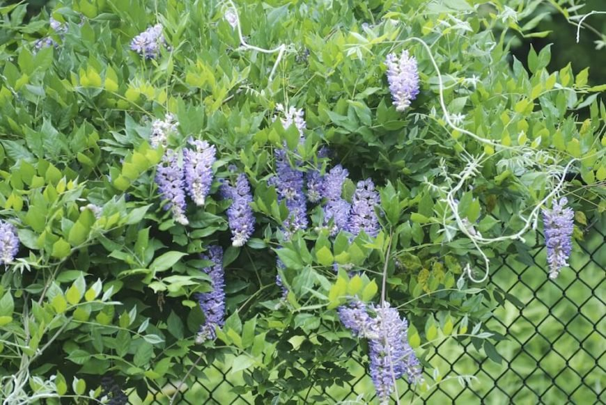 In well-established backyard gardens, a chain link fence can be used like a trellis, effectively adding privacy with large flowering plants, like these beautiful lavender wisteria.