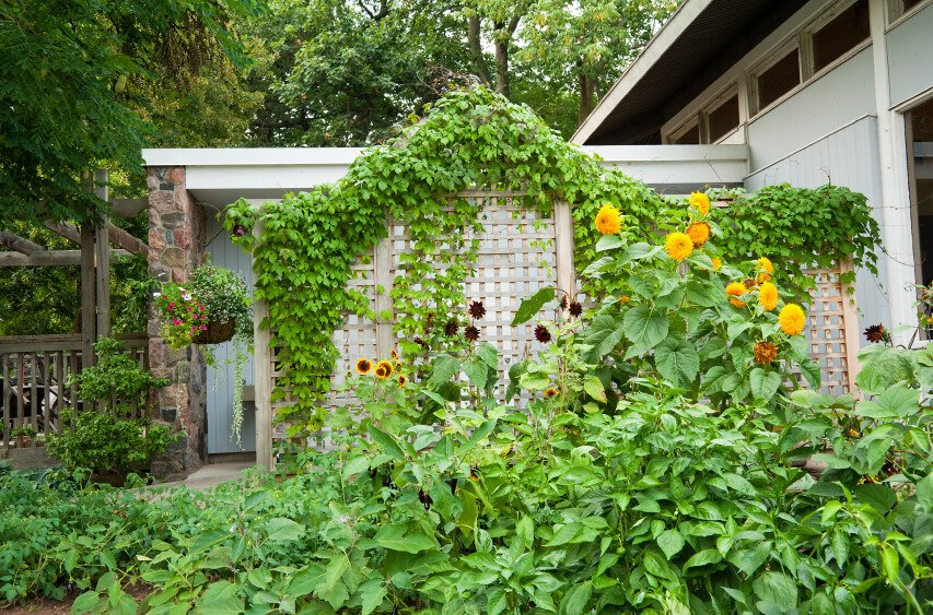 Letting vines take a lattice screen is a way to have a visually pleasing wooden lattice until the plants have an opportunity to grow.