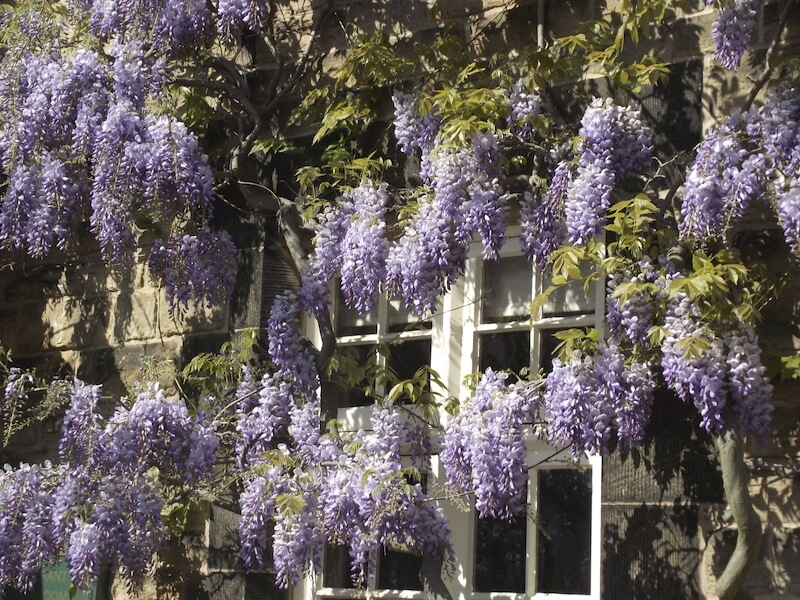 While Wisteria isn't truly a vine, it has many vine-like qualities, and will grow, much like a vine, over sheds and trellises.