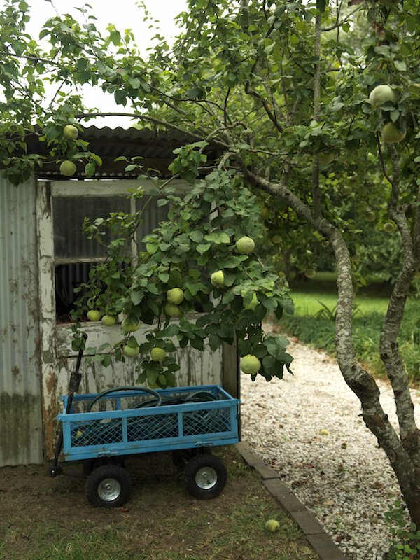 This apple tree is weighed down with ripening fruit. Nearby is a gardening shed and a wagon, which will be useful when it's time to harvest.
