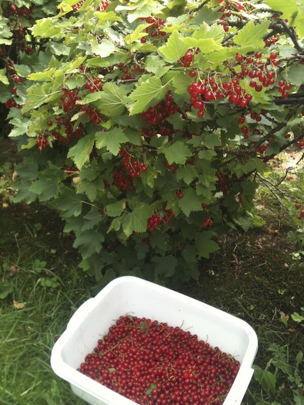 Brightly colored berries are harvested. Look at that haul! The large bush also acts as a great barrier between yards.