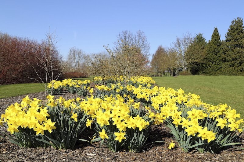 While not as densely packed, this flower bed filled with daffodils provides much needed color to this manicured lawn.