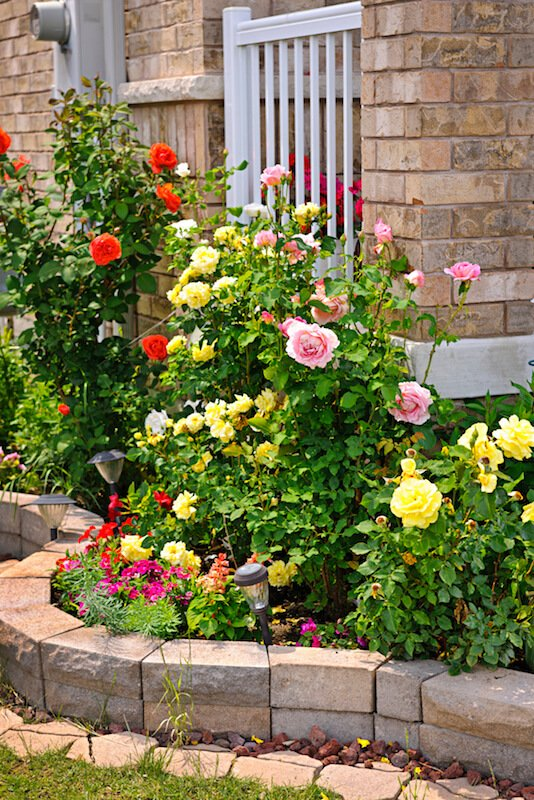 Even in smaller planting beds, roses have a certain appeal. This display has light pink, red, and pale yellow blooms.