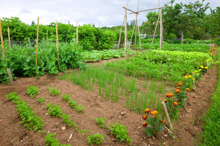 This is an expansive vegetable garden, in a large yard. If you have the space, there is no need to get fancy with raised garden beds, greenhouses, or paths. If you can manage with a simple plot of dirt and the seeds, then that is all you really need for a successful and beneficial vegetable garden.