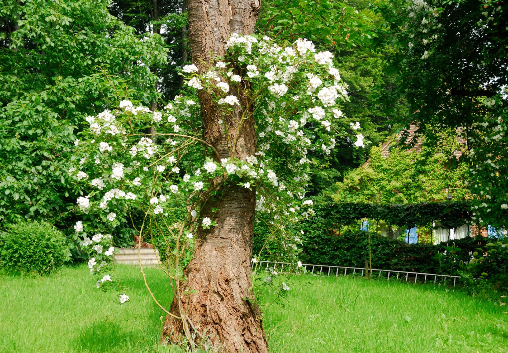 A climbing white rose overtakes a mature tree to add a vintage feeling to this backyard. You can train roses to climb on just about any structure.