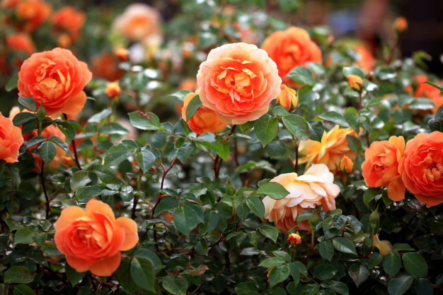 Tired of pink? Try out different colors to make your garden more interesting! These peach colored Tea Roses are sure to turn heads in your garden.