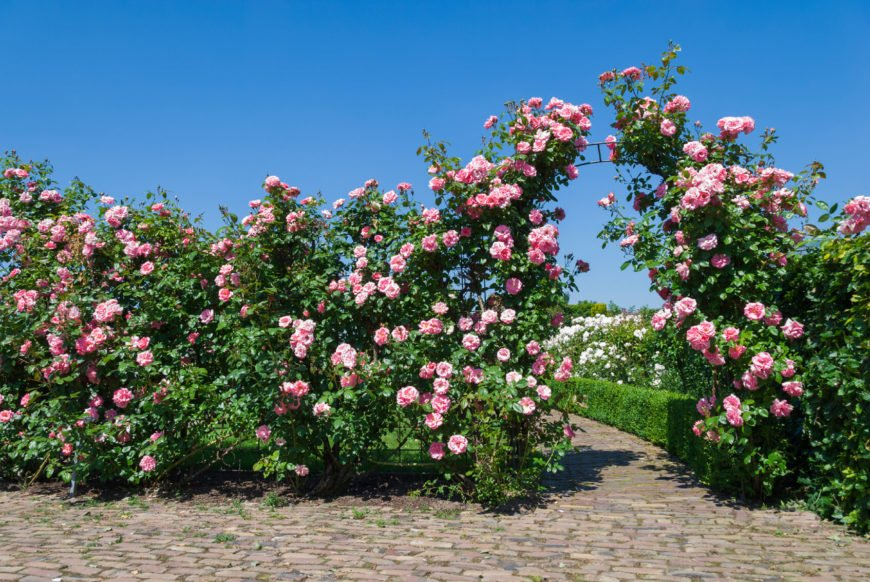 Looking for a way to increase your privacy? Try growing roses along your fence to fill in empty space.