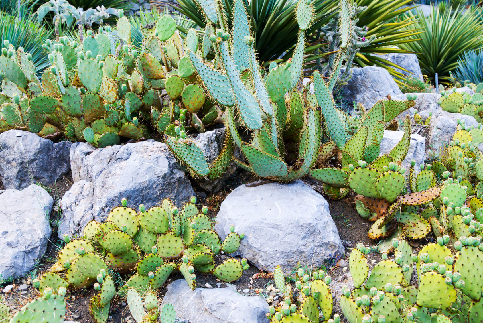 Planting a variety of cacti between stones and rocks gives an garden a wild and natural look. Your hard can look like the untamed wilds of the west.
