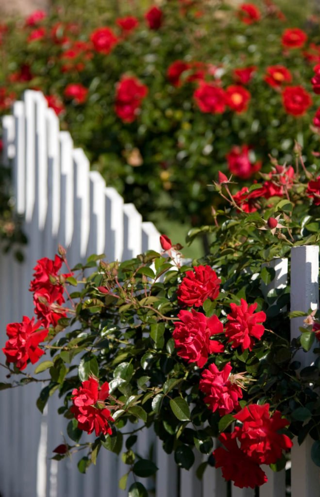 Use bold colored roses, like these deep red beauties, to contrast architectural features like fences and trellises in your yard.