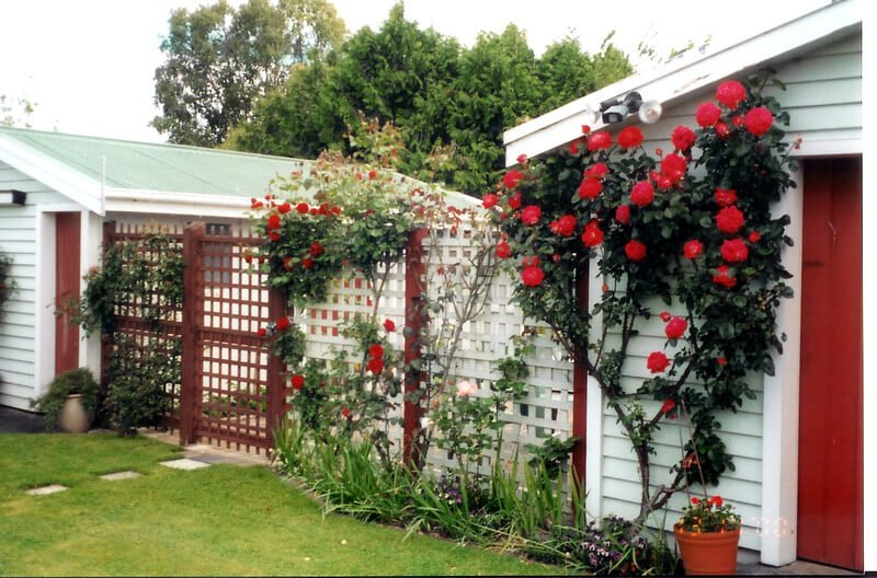 Using a similar concept as the previous photo. These red roses look stunning against white trellis and siding.