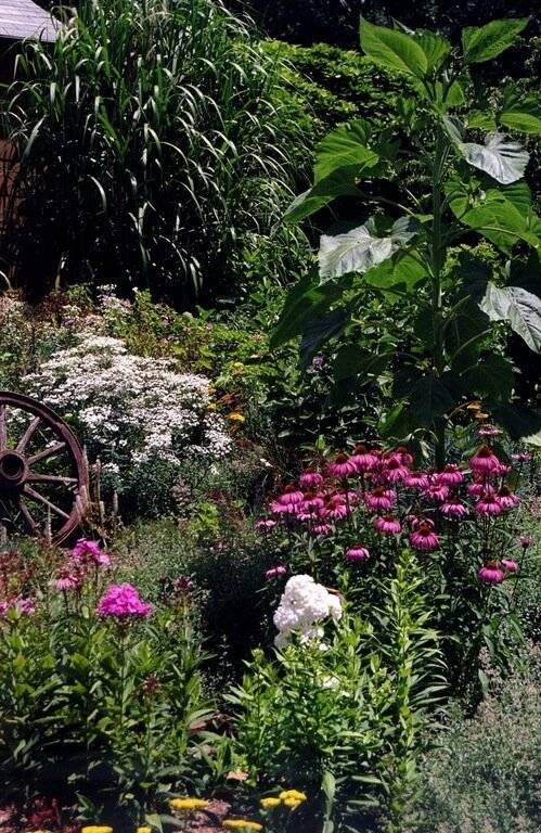 In this picture, purple coneflowers and white summer phlox grow amongst a deep green backdrop. The contrast of these vibrant colors against the thick greenery draws the eye to the garden.