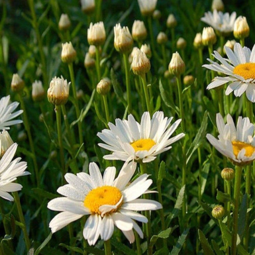 Daisies are <a class=