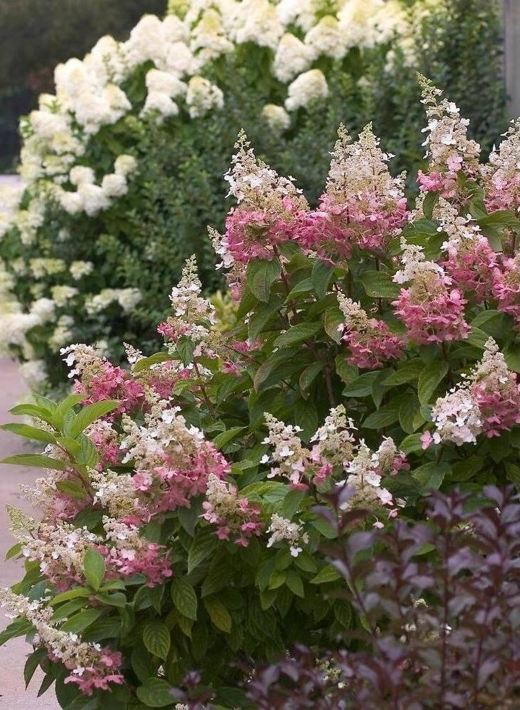 Hydrangeas are perfect flower bushes for along paths and <a class=