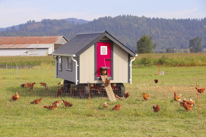 Here's a truly innovative solution: a chicken coop on wheels. Built over a tractor trailer frame, it's easily moved around the yard. This can help with wear and tear, and keep the chickens on their toes, so to speak.