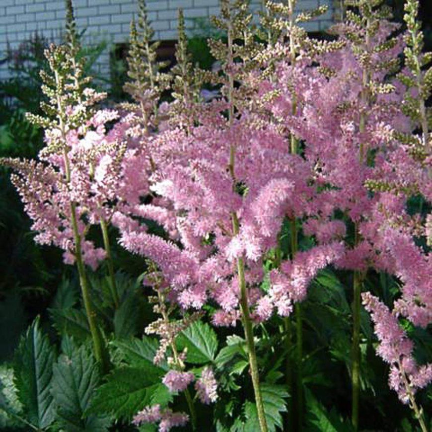 The sweet astilbe is an interesting perennial with a fantastic color profile and texture. Adding this flower to your garden can liven up your space and add some character.