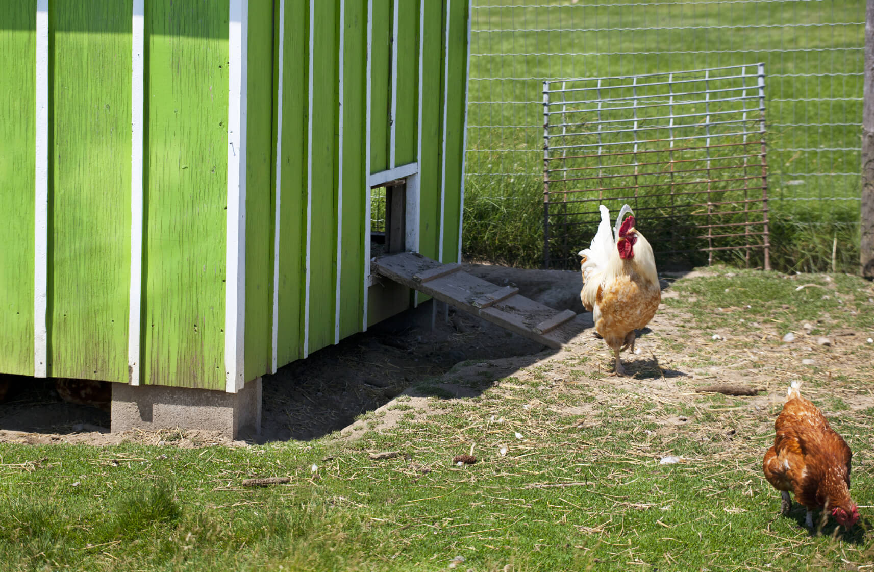 Here's a standard professional-sized chicken coop, standing about human height, and painted with a bright green and white striped coat. If you're experienced and looking to grow, this is an ideal solution.