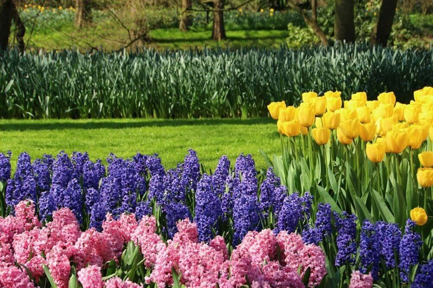 These lovely tulips sit next to some purple and pink hyacinth. The hyacinth have a long line of small colorful flowers on the top creating a bed of color along the top of your garden.