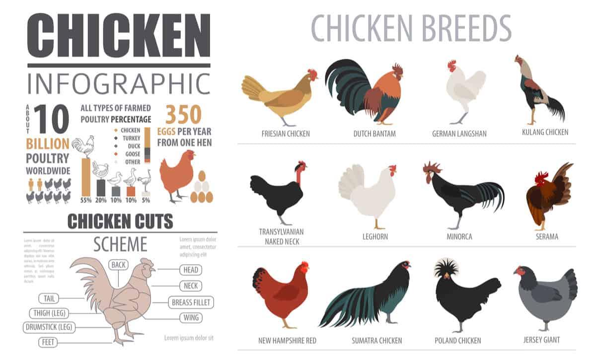 Chicken breed chart