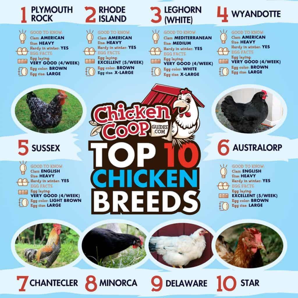 Top 10 chicken breeds infographic