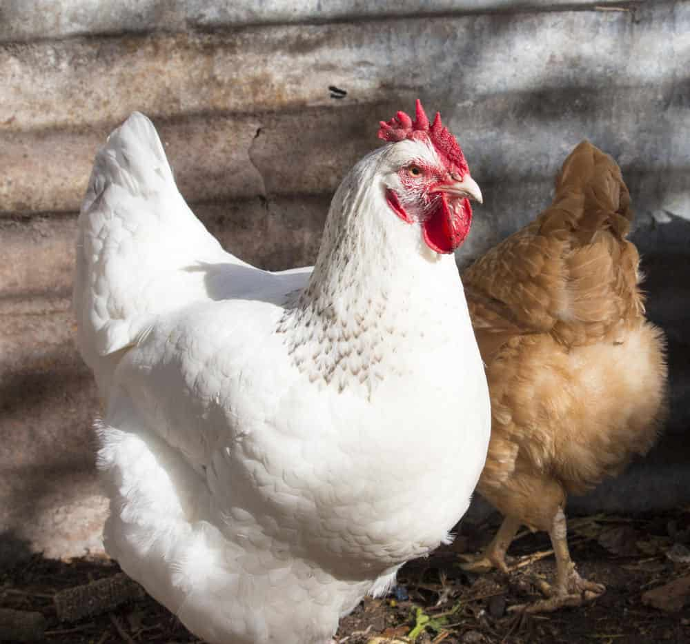 White leghorn chicken photo