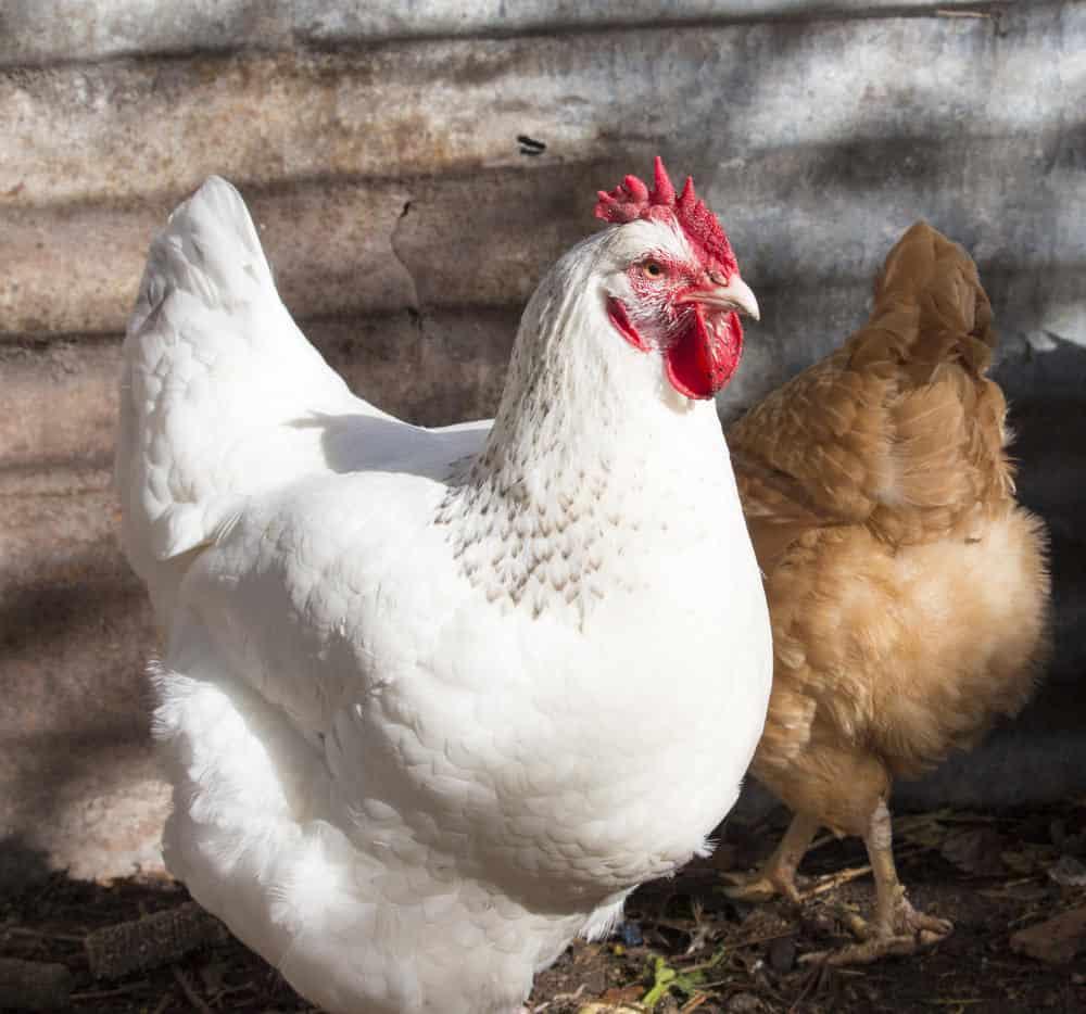 White leghorn chicken photo