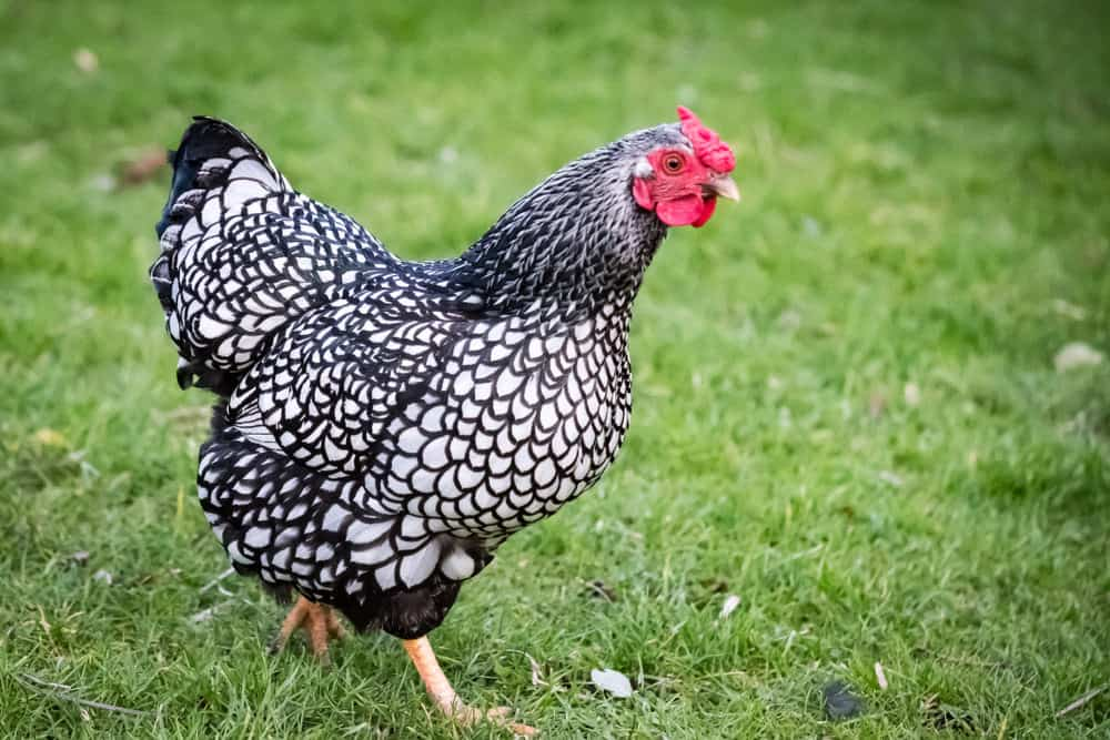 Wyandotte chicken photo example