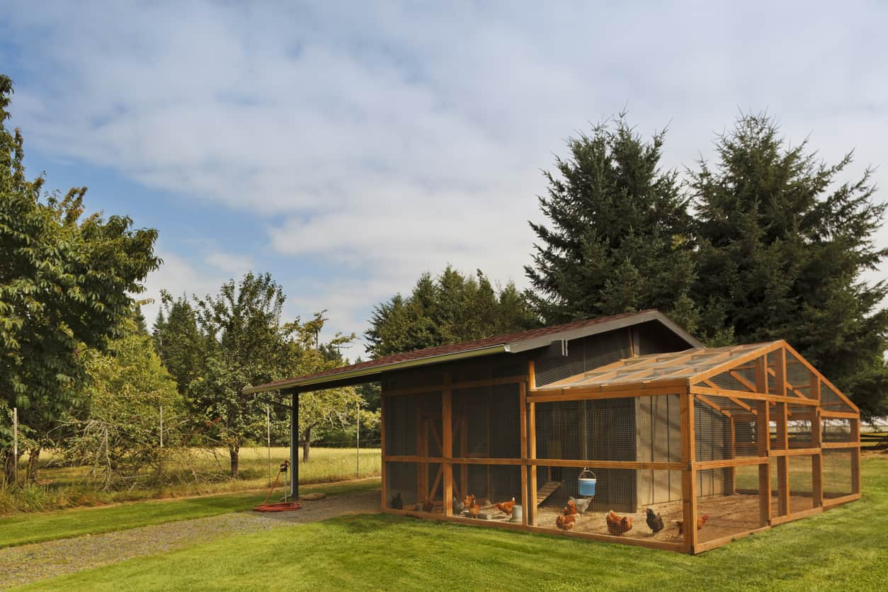 Large barn-style coop with fenced in roaming area. This particular coop is verging on becoming a small chicken farm.