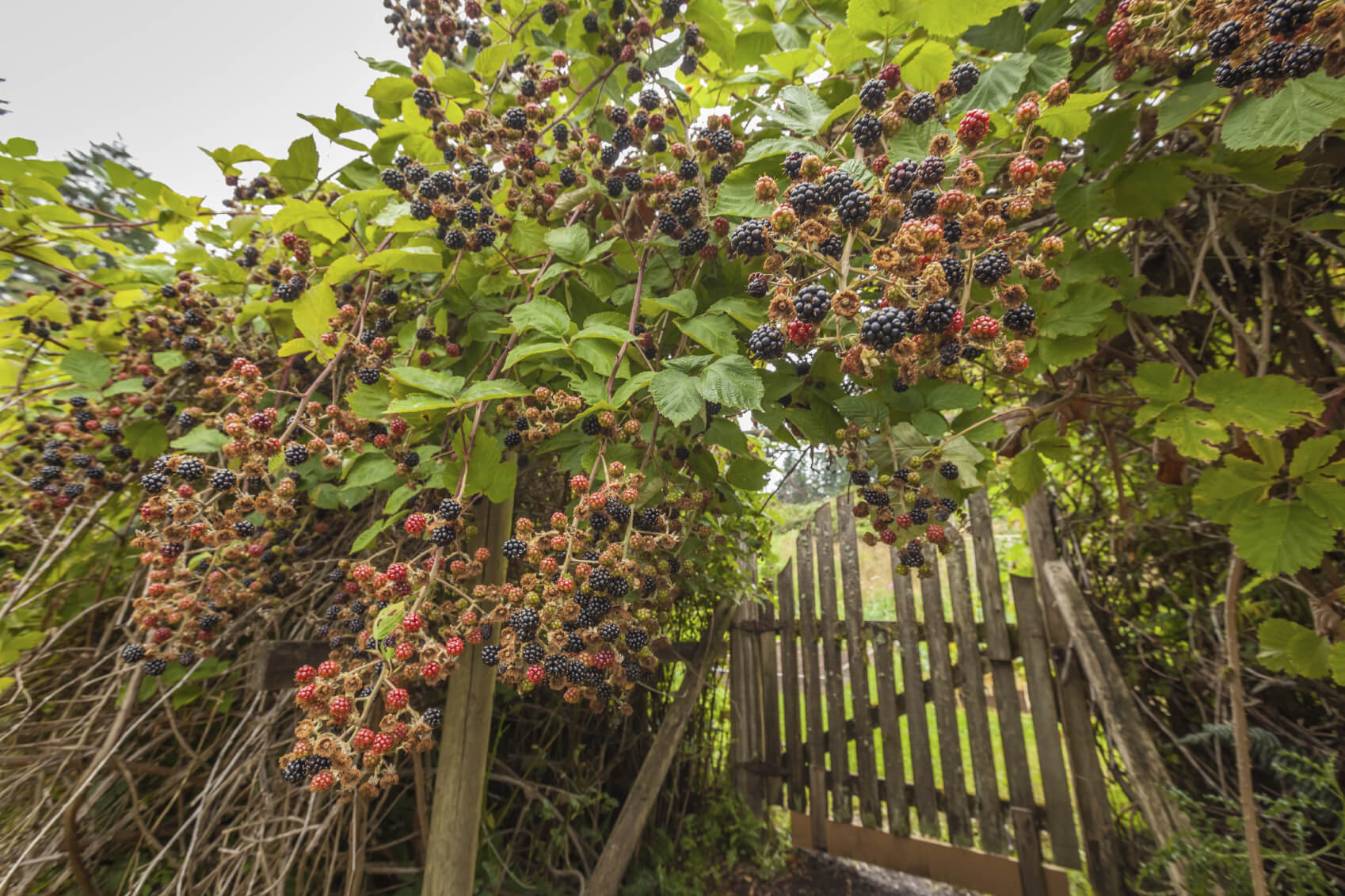 Some berry bushes produce a large quantity of berries. You will find yourself with more berries than you know what to do with in no time. Because berries freeze well you can save quite a few for later.
