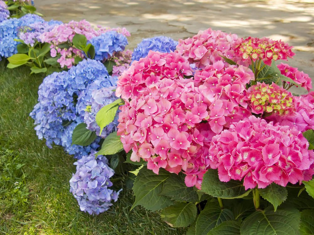 Small hydrangea bushes with bright pink and violet flowers.