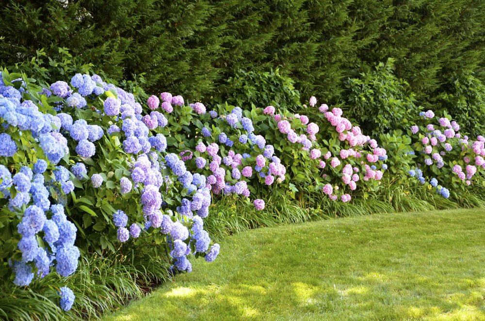 Spectacular long line of dense and colourful hydrangea bushes along the edge of a field.