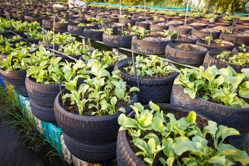 This is a fantastic example of a large scale tire planter vegetable garden operation.
