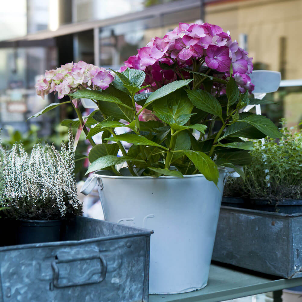Combine a young and full bloom hydrangea in one vase to show how the blossoms would grow much like how you emphasize its growth cycle and evolution.
