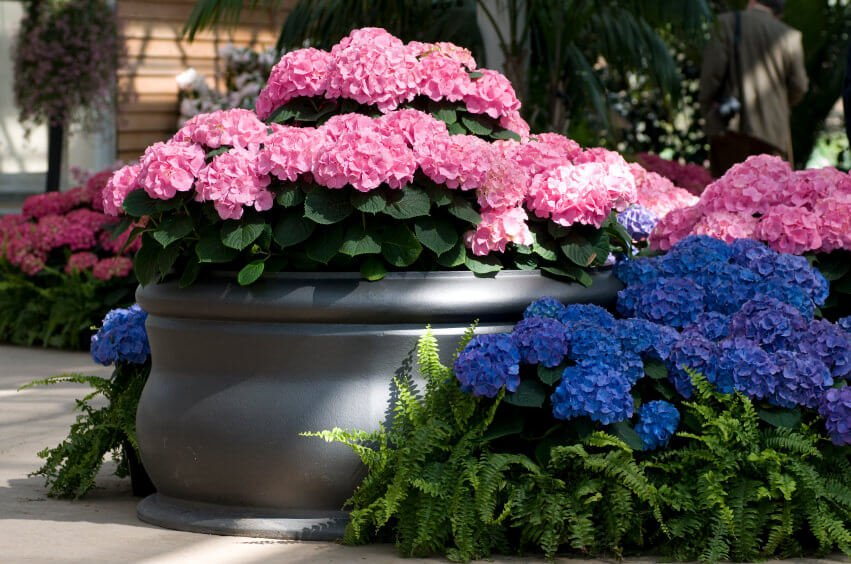 Use pink and blue hydrangeas alternately to line your garden walk path and help in soothing your mind and your visitors as they travel this colored path.