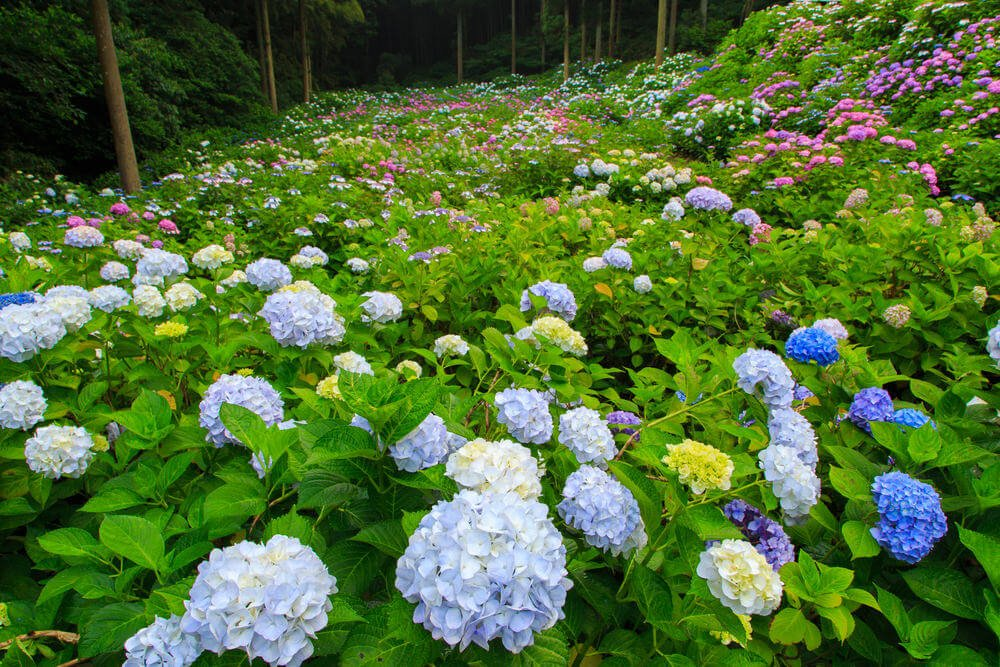 Gorgeous sea of hydrangea flowers of all colours including light yellow, light blue, violet and pink.